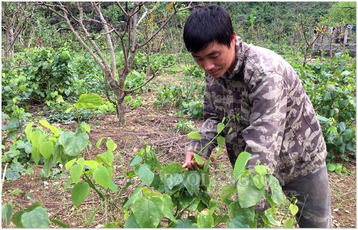 """Lạng Sơn: Tình cờ đem thứ rau rừng mọc hoang trên núi về trồng, ai ngờ quanh năm """"hái"""" được tiền đều như vắt chanh - Ảnh 1."""