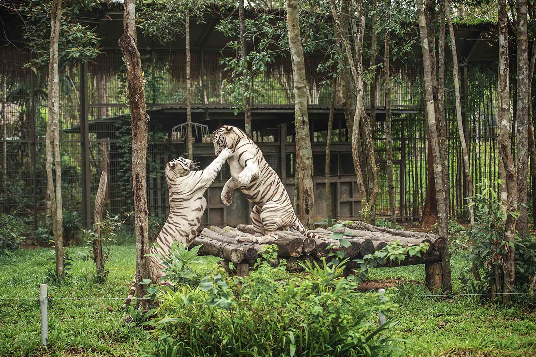 Mê mẩn ngắm sư tử con, hổ... và những góc ảnh dễ thương tại vườn thú bán hoang dã Phú Quốc - Ảnh 12.