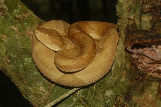 Giải mã bí ẩn về loài rắn lục đầu giáo vàng có nọc độc kinh hoàng, có thể làm tan thịt người - Ảnh 2.