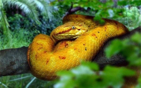 Giải mã bí ẩn về loài rắn lục đầu giáo vàng có nọc độc kinh hoàng, có thể làm tan thịt người - Ảnh 3.