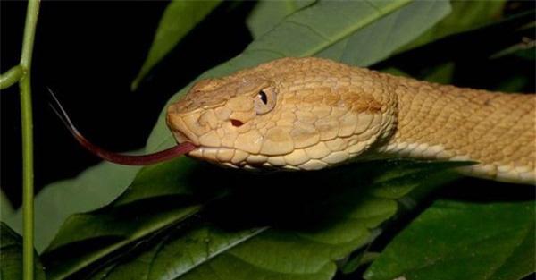 Giải mã bí ẩn về loài rắn lục đầu giáo vàng có nọc độc kinh hoàng, có thể làm tan thịt người - Ảnh 4.
