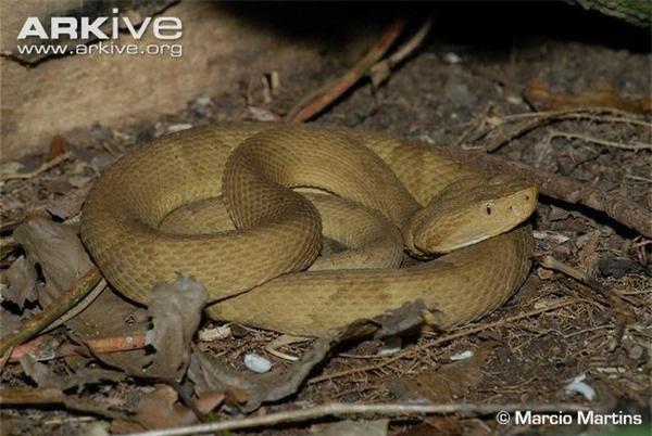Giải mã bí ẩn về loài rắn lục đầu giáo vàng có nọc độc kinh hoàng, có thể làm tan thịt người - Ảnh 5.