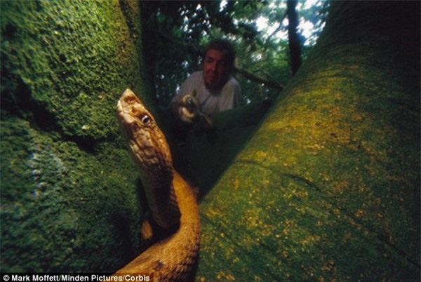 Giải mã bí ẩn về loài rắn lục đầu giáo vàng có nọc độc kinh hoàng, có thể làm tan thịt người - Ảnh 6.