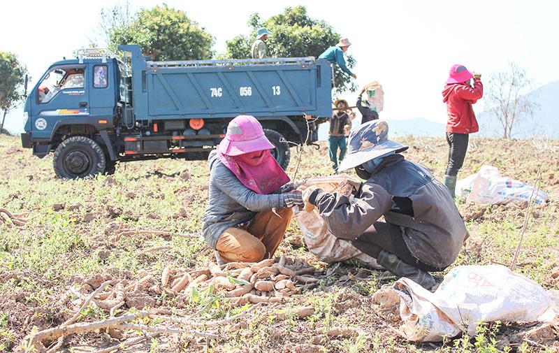 Quảng Trị: Ra tháng Giêng, nông dân lên đồi đào củ gì mà nhà máy đánh ô tô vào tận nơi mua với giá cao? - Ảnh 1.