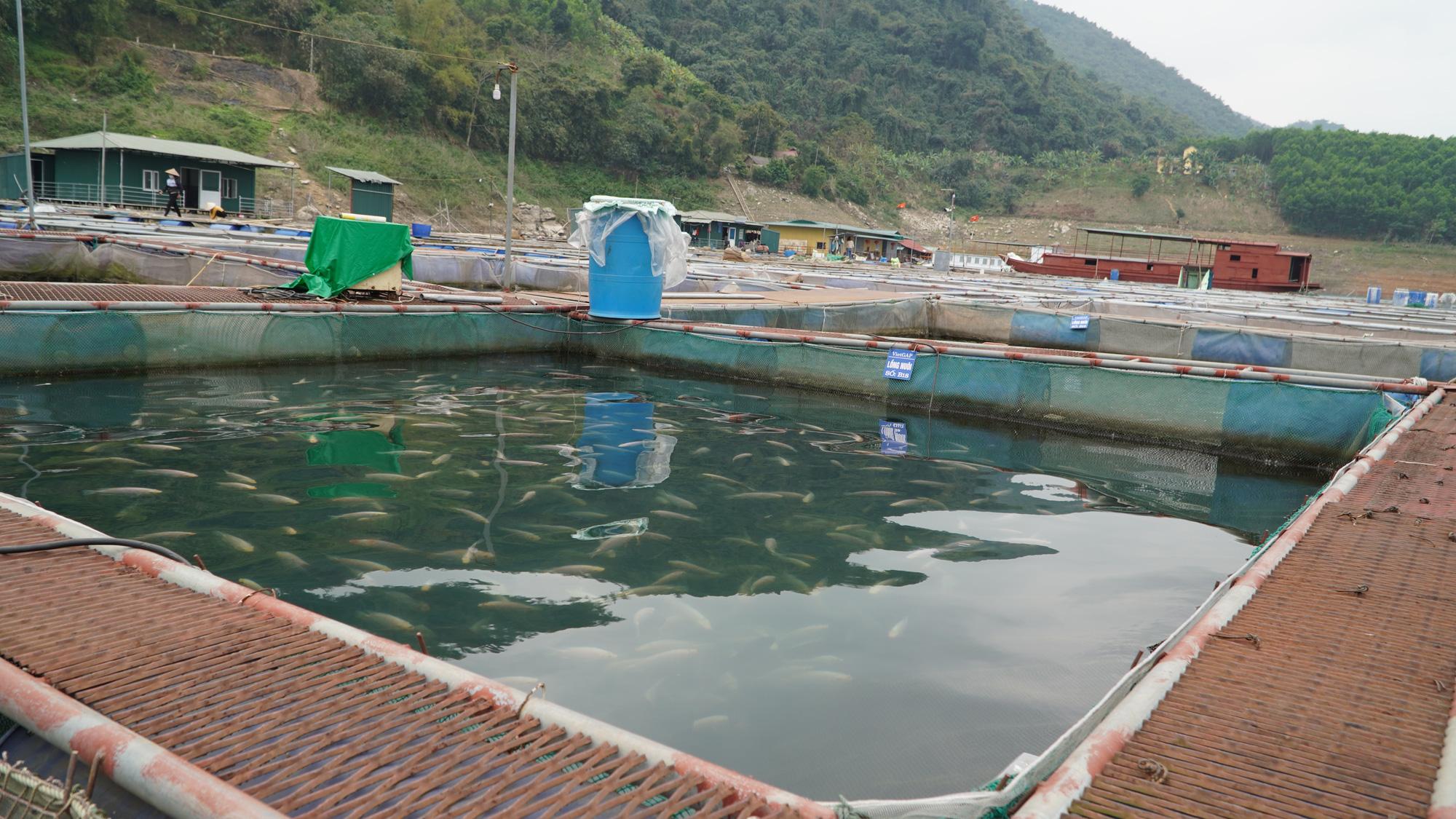 Kỹ thuật nuôi cá Diêu Hồng trong lồng hiệu quả nhất - Ảnh 4.