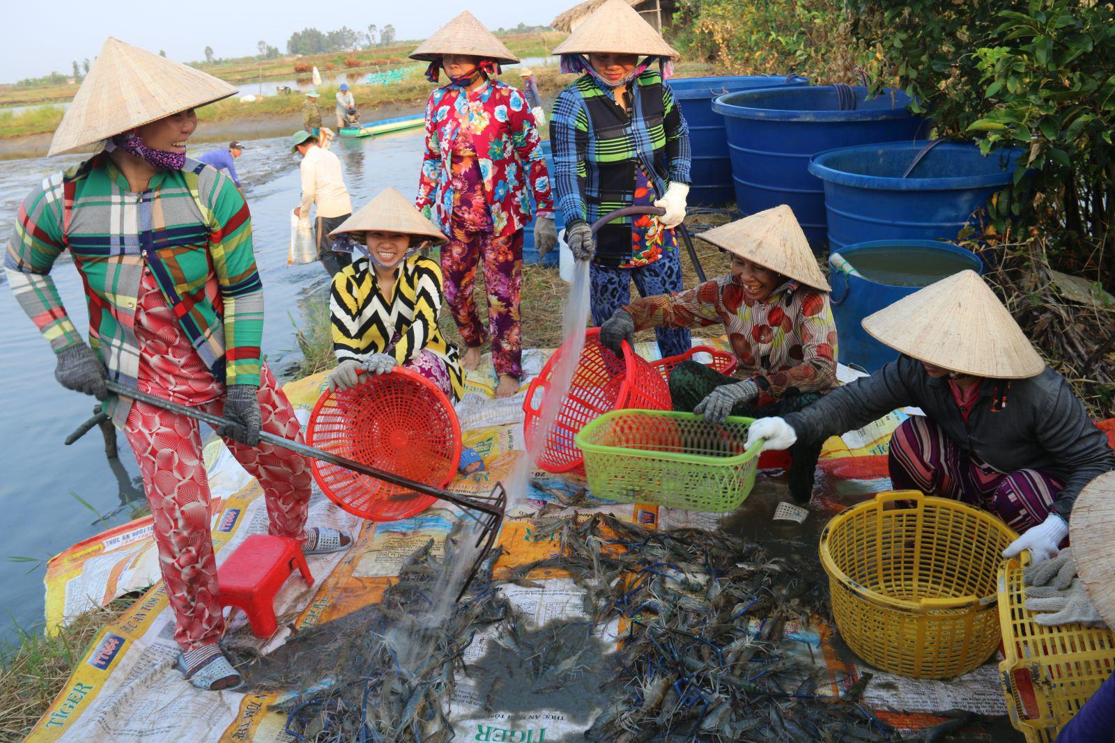 Nông dân Bạc Liêu bảo nhau nuôi tôm kiểu này nên cứ 1 ha bỏ túi 100 triệu đồng - Ảnh 1.