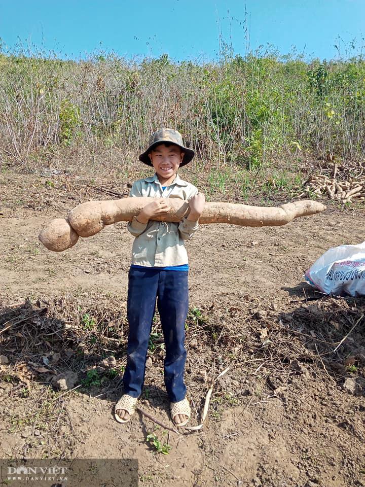 Đi đào sắn, lão nông phát hiện thành quả lao động to như con trăn khủng - Ảnh 2.