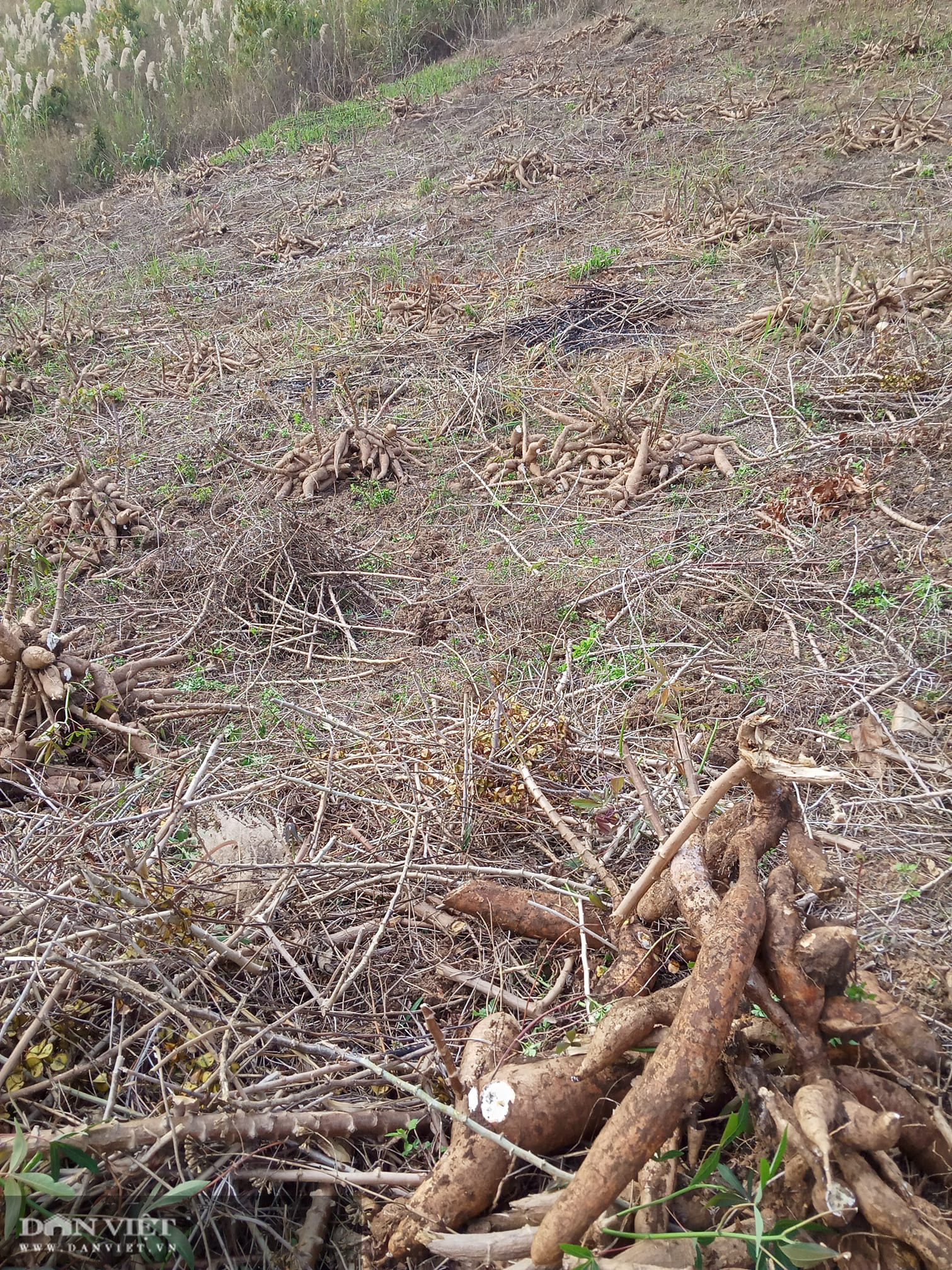 Đi đào sắn, lão nông phát hiện thành quả lao động to như con trăn khủng - Ảnh 3.