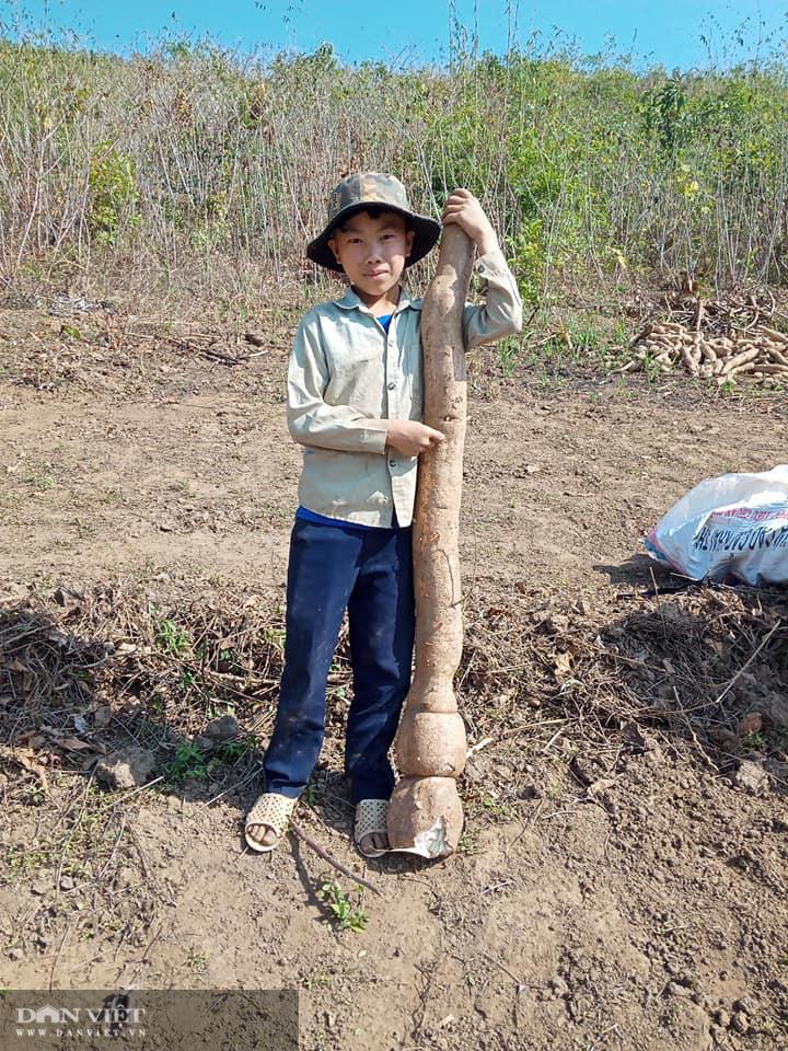 Đi đào sắn, lão nông phát hiện thành quả lao động to như con trăn khủng - Ảnh 1.