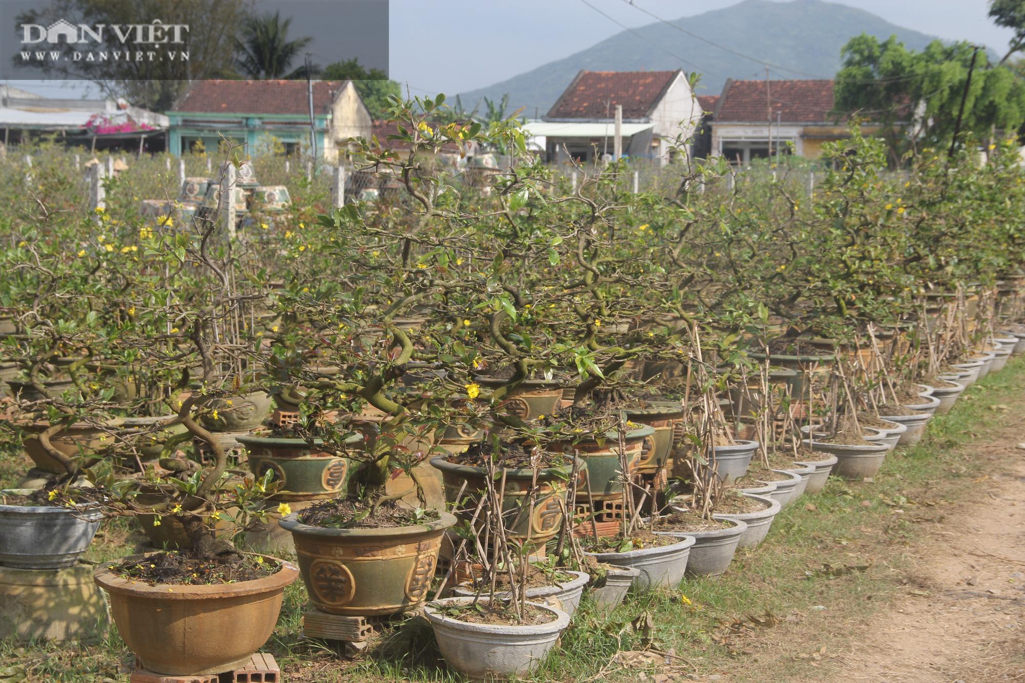 """Nhà vườn """"thủ phủ"""" mai vàng miền Trung tất bật chăm sóc cho cây hái ra tiền - Ảnh 1."""