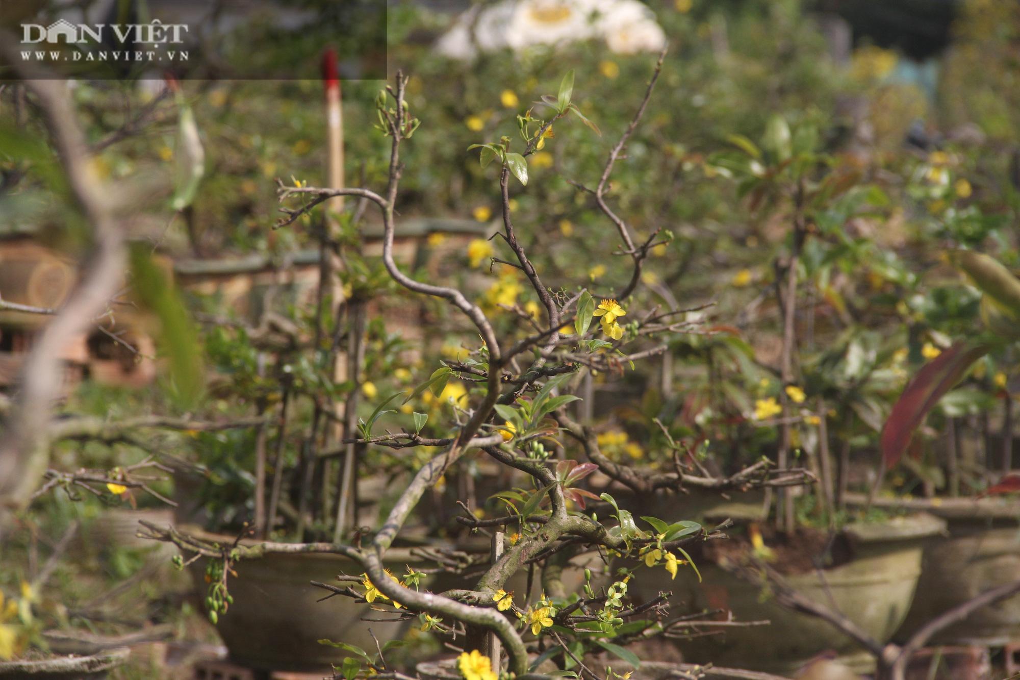 """Nhà vườn """"thủ phủ"""" mai vàng miền Trung tất bật chăm sóc cho cây hái ra tiền - Ảnh 2."""