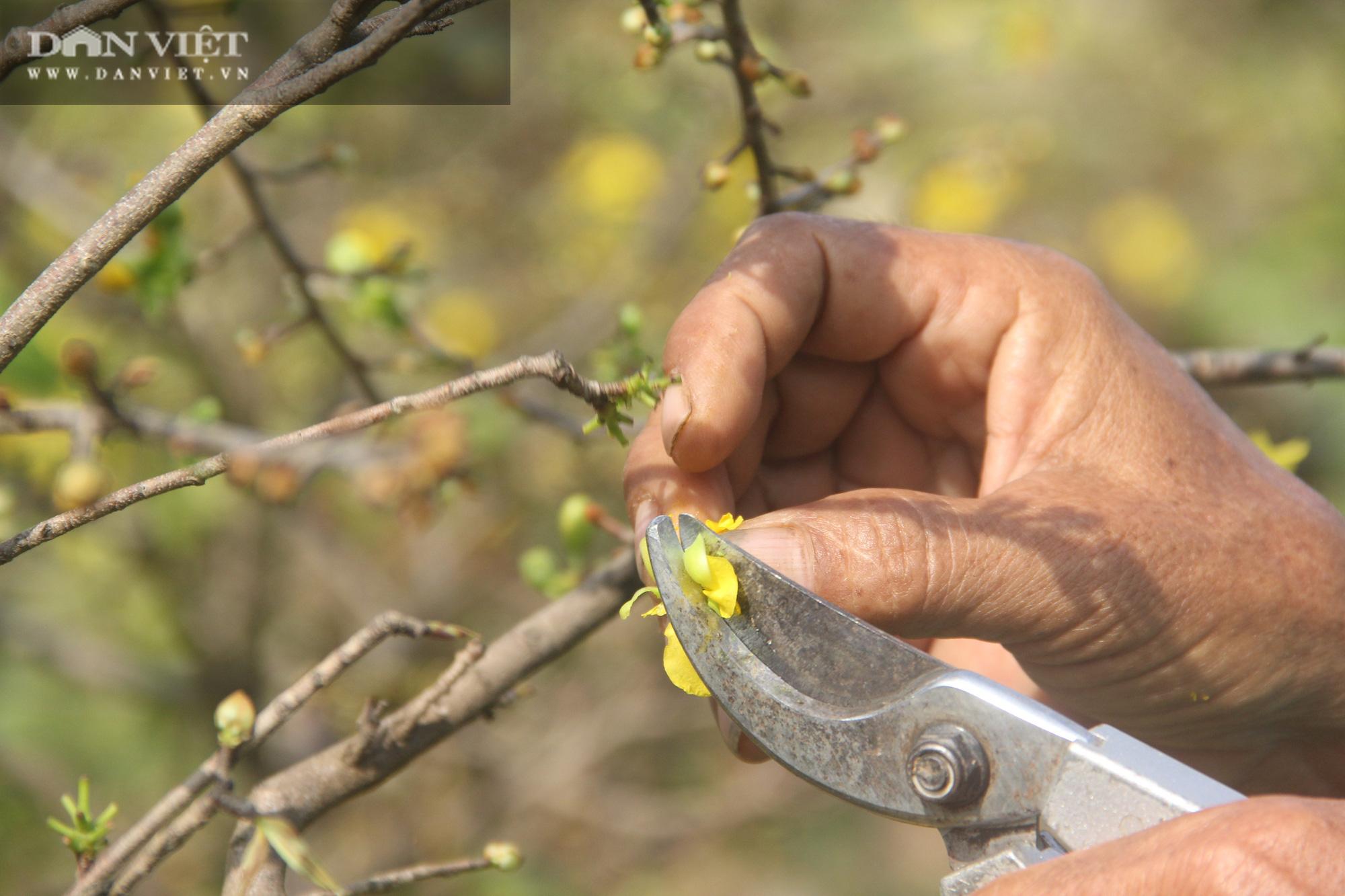 """Nhà vườn """"thủ phủ"""" mai vàng miền Trung tất bật chăm sóc cho cây hái ra tiền - Ảnh 7."""