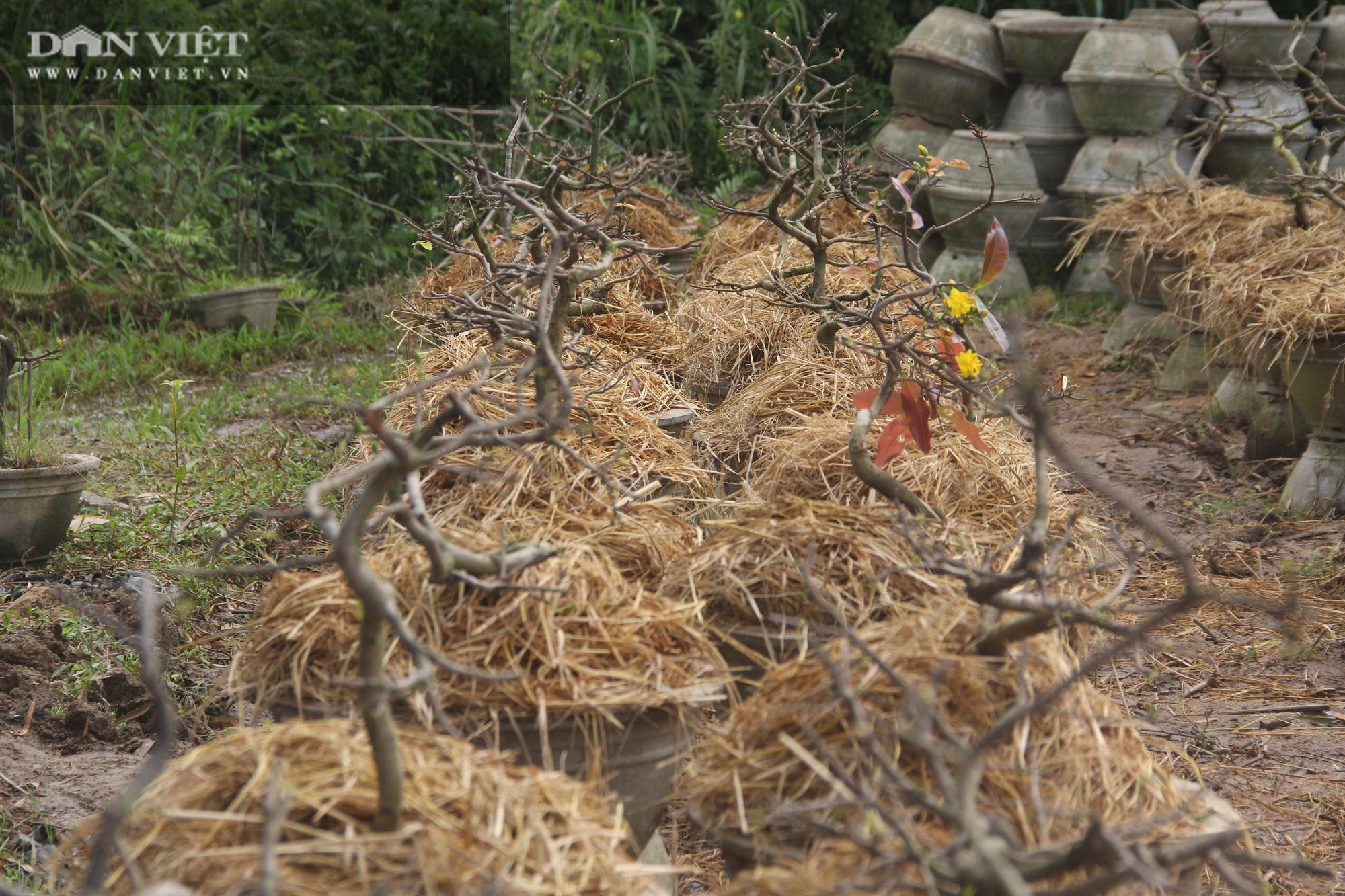 """Nhà vườn """"thủ phủ"""" mai vàng miền Trung tất bật chăm sóc cho cây hái ra tiền - Ảnh 12."""