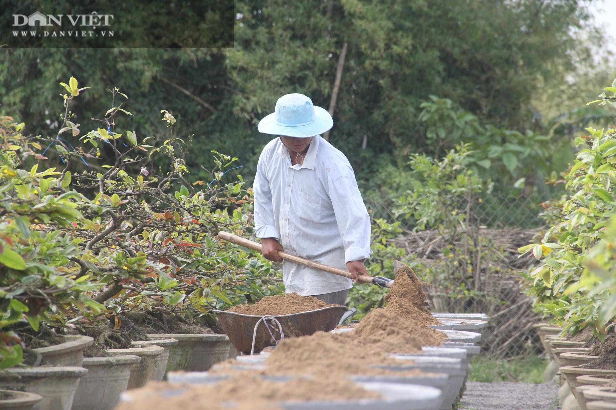 """Nhà vườn """"thủ phủ"""" mai vàng miền Trung tất bật chăm sóc cho cây hái ra tiền - Ảnh 8."""
