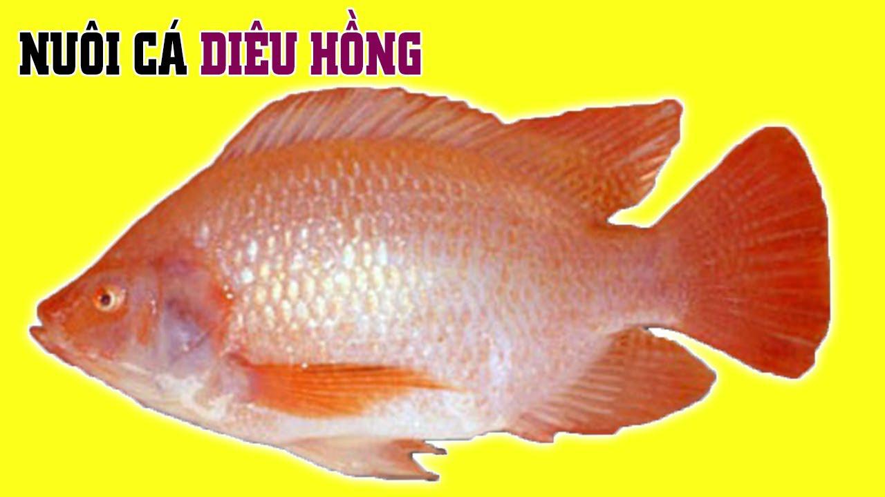 Kỹ thuật nuôi cá Diêu Hồng trong lồng hiệu quả nhất - Ảnh 2.