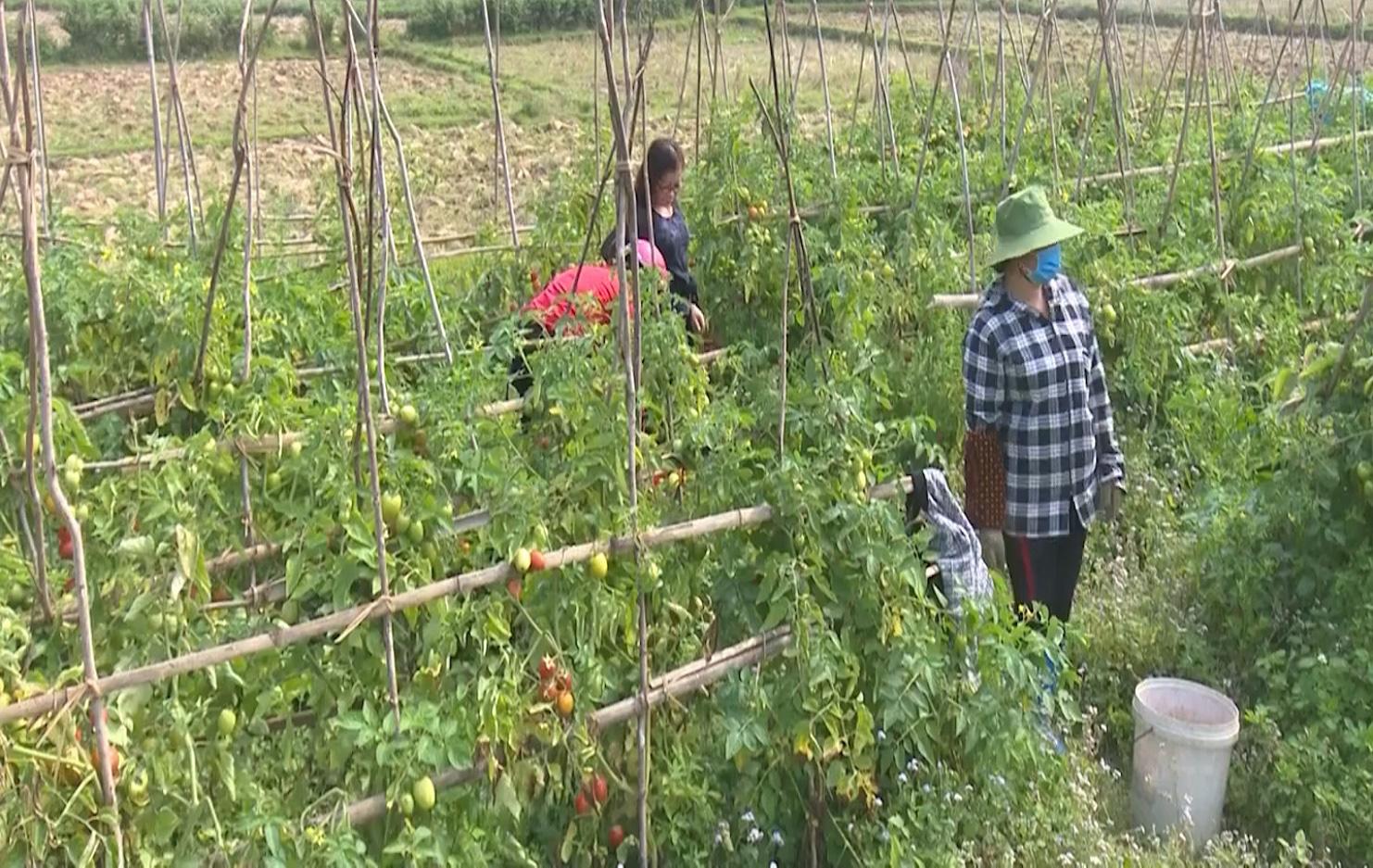 Cao Bằng: Vì đâu cà chua chín đỏ rực cả cánh đồng nhưng nông dân không mặn mà thu hái? - Ảnh 2.