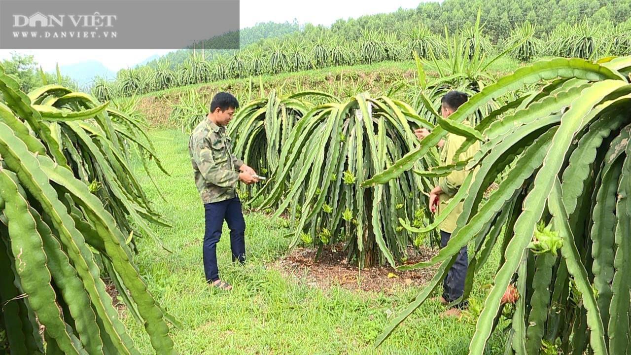Phú Thọ: Trồng cây ruột đỏ chi chít hạt, chàng trai trẻ này khấm khá nhất vùng - Ảnh 4.