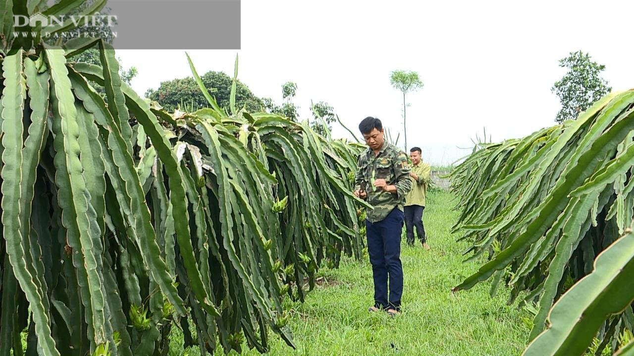 Phú Thọ: Trồng cây ruột đỏ chi chít hạt, chàng trai trẻ này khấm khá nhất vùng - Ảnh 2.