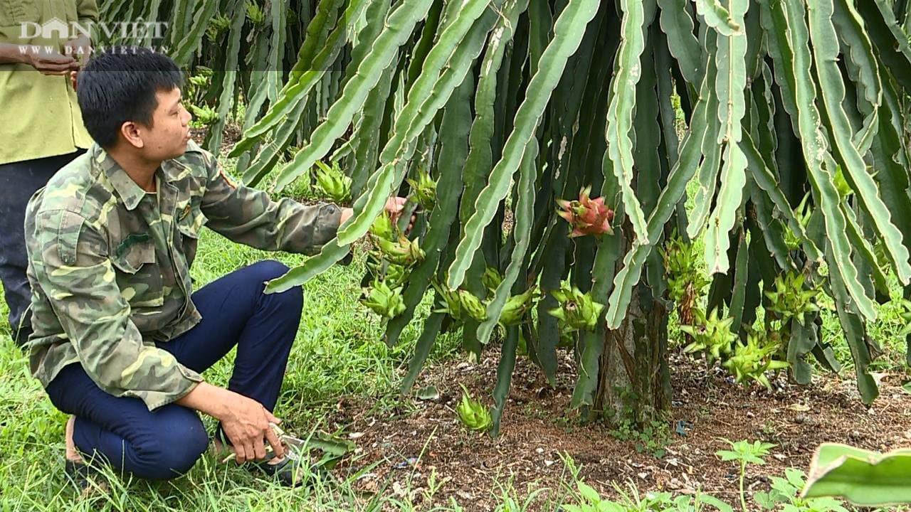 Phú Thọ: Trồng cây ruột đỏ chi chít hạt, chàng trai trẻ này khấm khá nhất vùng - Ảnh 3.