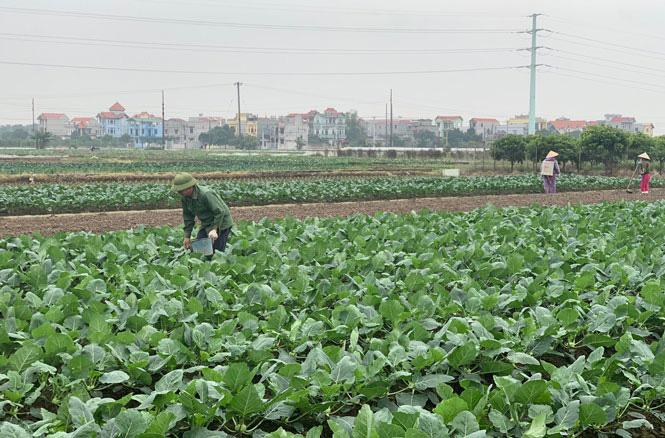 Hà Nội: Nông dân phấn khởi khi giá rau xanh đã tăng nhanh chóng - Ảnh 2.