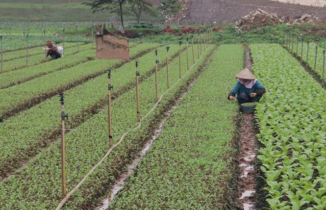 Hà Nội: Nông dân phấn khởi khi giá rau xanh đã tăng nhanh chóng - Ảnh 3.