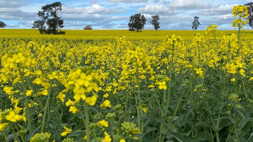 Tại sao bang New South Wales (Úc) dỡ bỏ lệnh hạn chế cây trồng biến đổi gen sau 18 năm? - Ảnh 1.