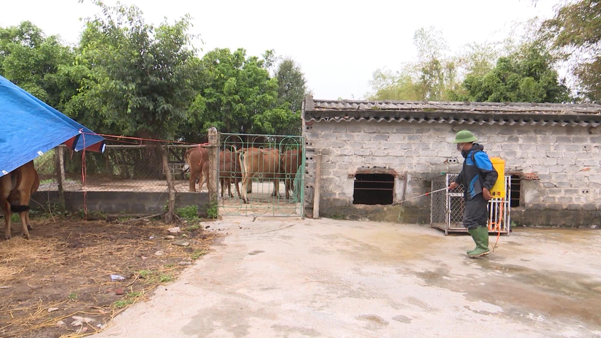 Bệnh viêm da nổi cục trên trâu, bò xuất hiện hiện ở 8/8 huyện, thành phố, tỉnh Thái Bình  - Ảnh 2.