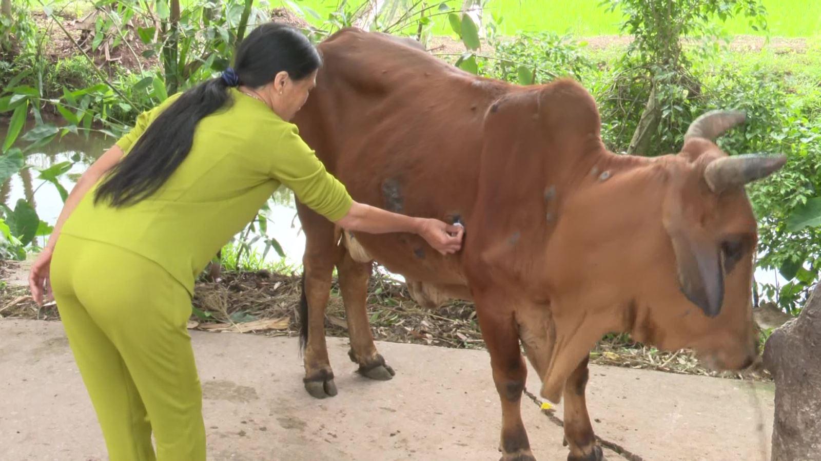 Bệnh viêm da nổi cục trên trâu, bò xuất hiện hiện ở 8/8 huyện, thành phố, tỉnh Thái Bình  - Ảnh 1.