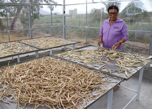 Ninh Thuận: Nông dân này trồng thứ rau gì mà ăn tươi bổ dưỡng, làm trà uống hay, mỗi tháng đút túi 40 triệu? - Ảnh 2.