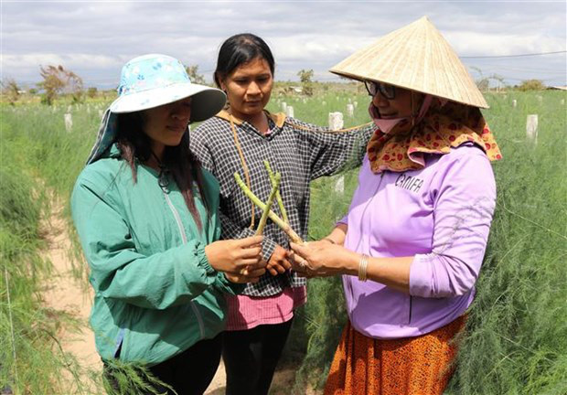 Ninh Thuận: Nông dân này trồng thứ rau gì mà ăn tươi bổ dưỡng, làm trà uống hay, mỗi tháng đút túi 40 triệu? - Ảnh 4.