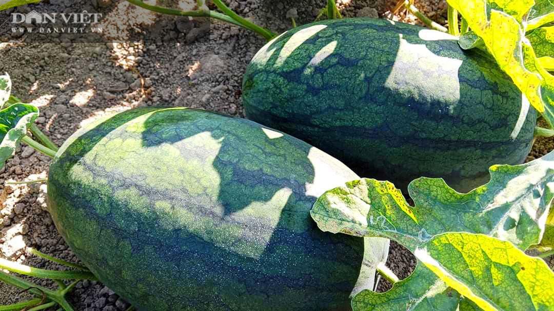 """Bình Định: Quả """"da xanh, ruột đỏ"""" được mua tại ruộng với giá 7.000 đồng/kg, người nông dân kỳ vọng có lãi  - Ảnh 1."""
