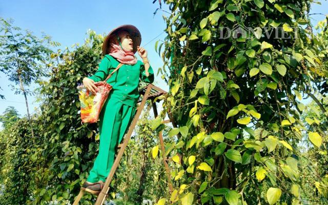Nông dân Thu hoạch hồ tiêu ở Bình Phước