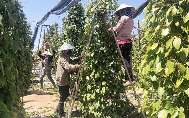 Nông dân Thu hoạch hồ tiêu ở Gia Lai. Ảnh Trần Hiền
