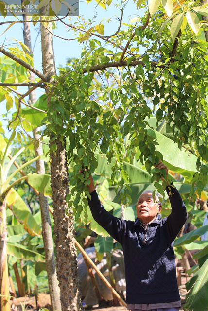 """Phú Thọ: Lấy tầm gửi trên """"cây có ma"""" có giá cả triệu đồng/kg, người dân nơi này khấm khá - Ảnh 2."""