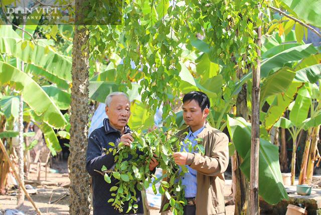 """Phú Thọ: Lấy tầm gửi trên """"cây có ma"""" có giá cả triệu đồng/kg, người dân nơi này khấm khá - Ảnh 1."""