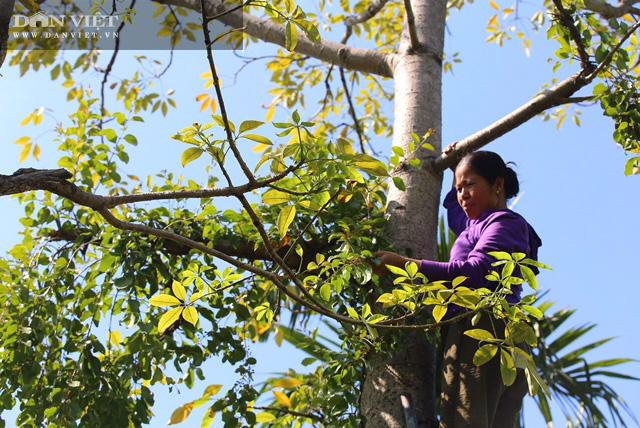 """Phú Thọ: Lấy tầm gửi trên """"cây có ma"""" có giá cả triệu đồng/kg, người dân nơi này khấm khá - Ảnh 4."""