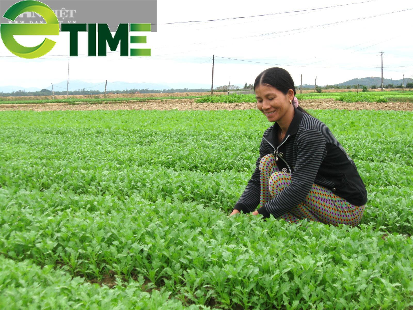 Hơn 1.000 hộ nông dân Bình Định trồng rau an toàn - Ảnh 2.