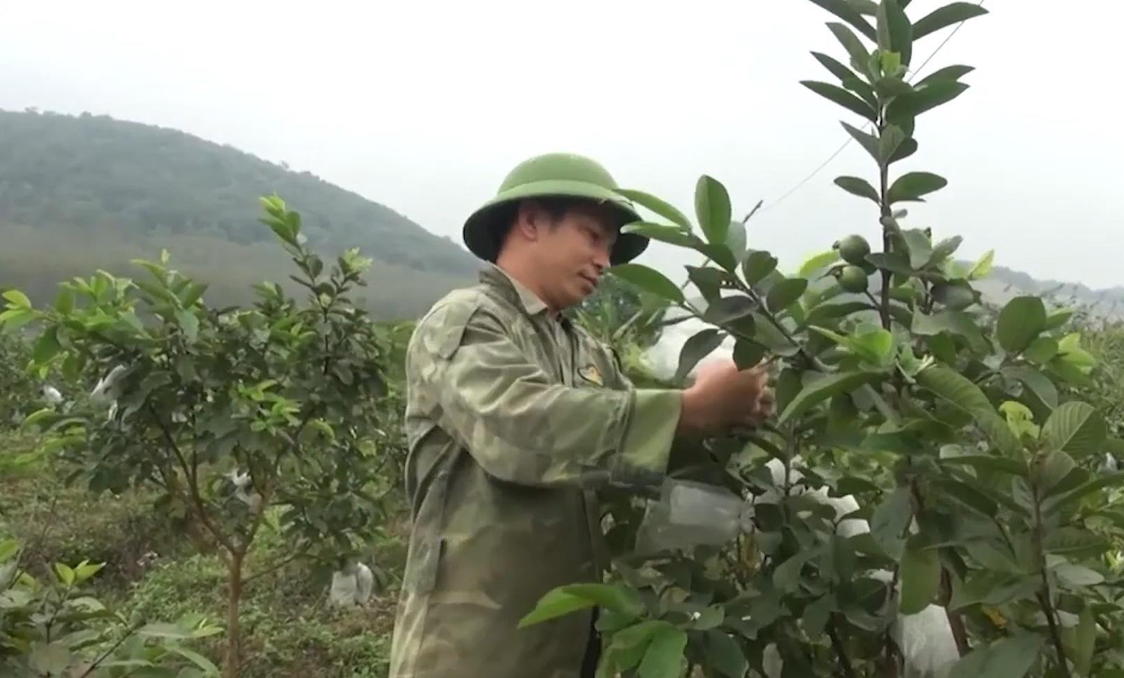 Trồng ổi lê Đài Loan trên đất đồi Thanh Hóa, nông dân đổi đời, thu về cả tỷ đồng - Ảnh 2.