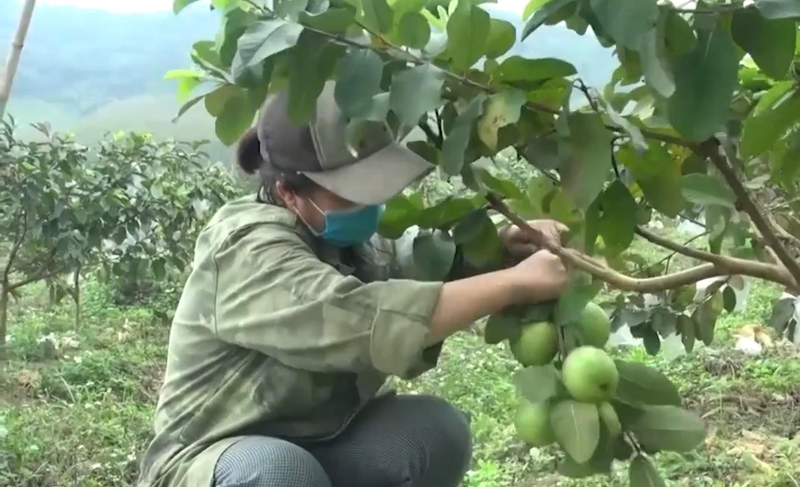Trồng ổi lê Đài Loan trên đất đồi Thanh Hóa, nông dân đổi đời, thu về cả tỷ đồng - Ảnh 4.