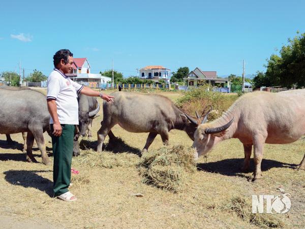 Ninh Thuận: Làng này nuôi trâu, nhà nào nuôi nhà đó giàu, ai đến làng này cũng bất ngờ - Ảnh 1.