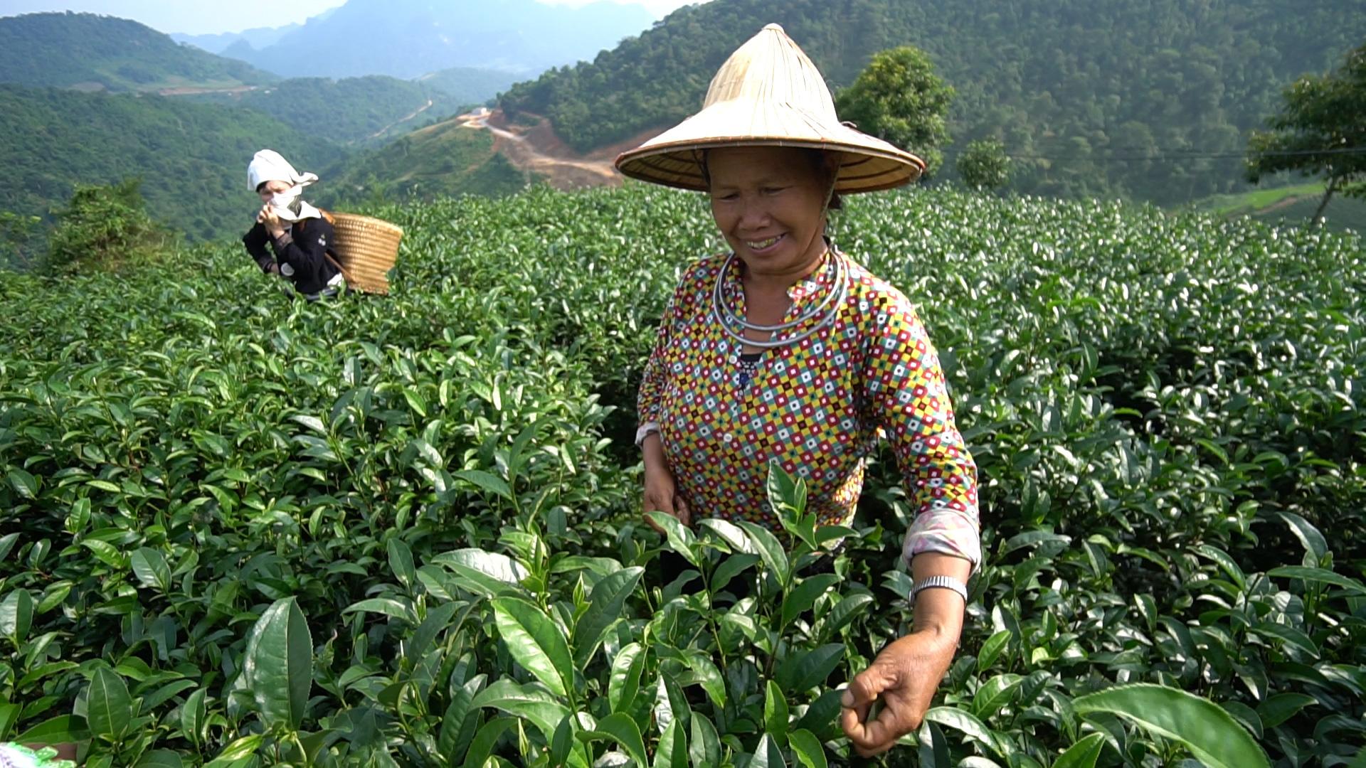 """Tuyên Quang: Từ một cây chỉ lấy lá đun nước đã thành OCOP """"4 sao"""" - Ảnh 1."""