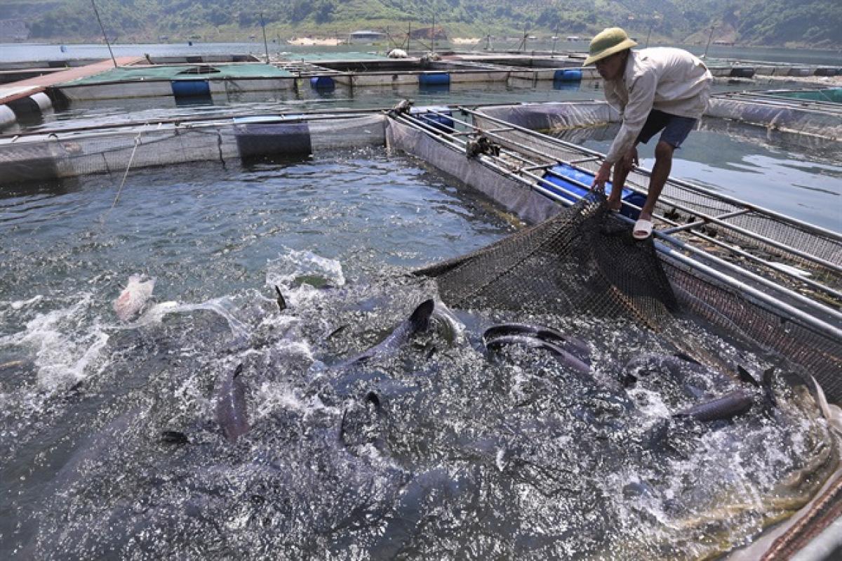 Video: Hướng dẫn kỹ thuật nuôi cá trắm đen trong lồng bè hiệu quả nhất - Ảnh 12.
