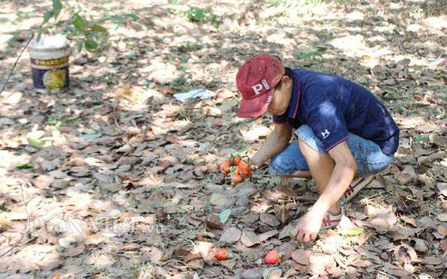 Các vùng trồng điều ở Đông Nam Bộ đã rải rác thu hoạch điều đầu vụ