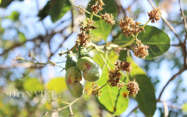 Những vườn điều gặp lạnh, bị khô bông nên năng suất thấp