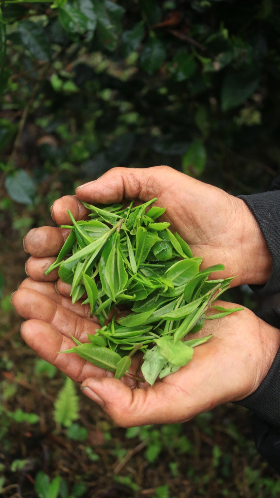 """Tuyên Quang: Từ một cây chỉ lấy lá đun nước đã thành OCOP """"4 sao"""" - Ảnh 3."""