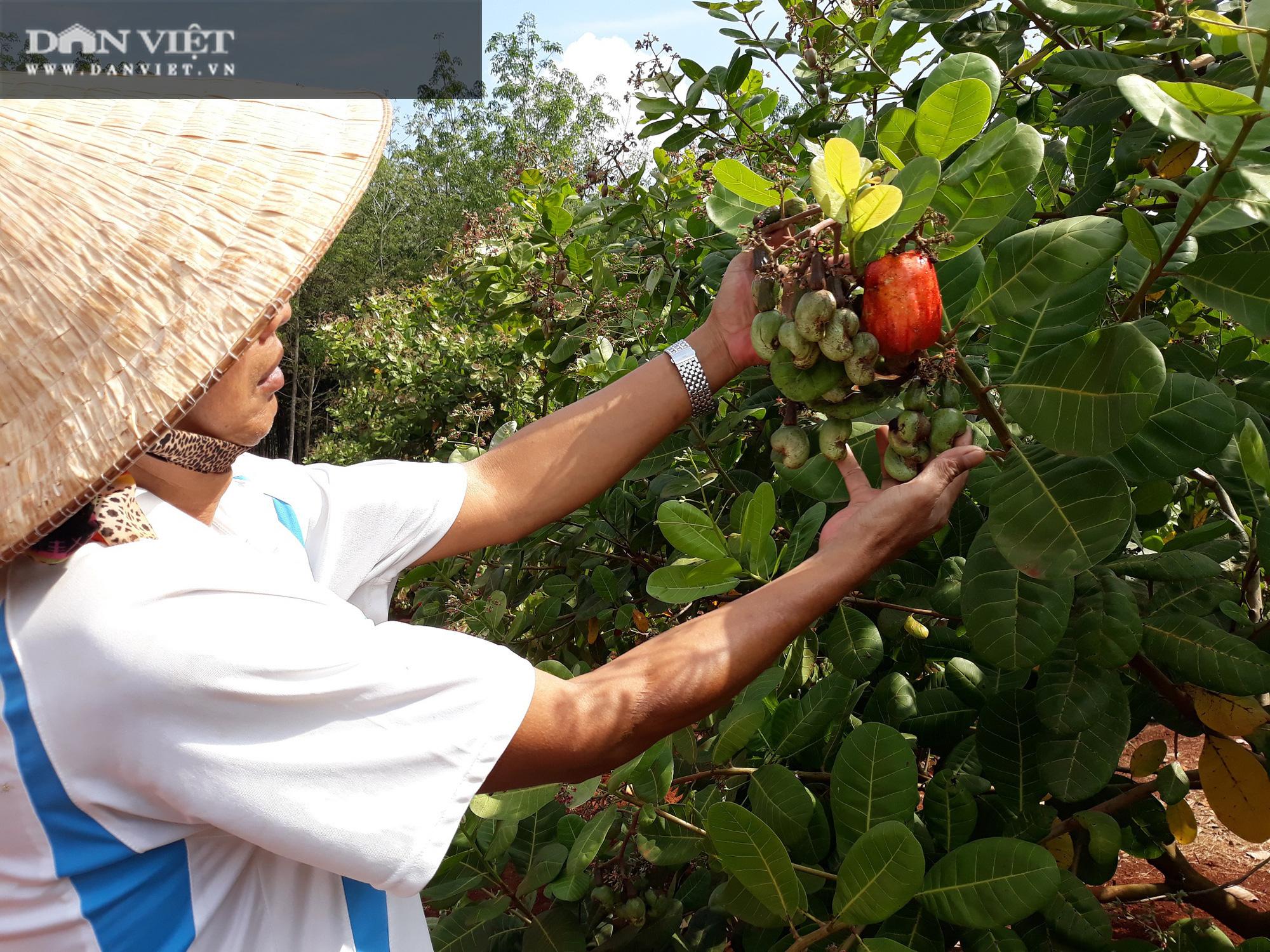 binh phuoc  nong dan thang to vu dieu la rung xuong khong vut di gom lai u muc cho cay   8221 an  8221