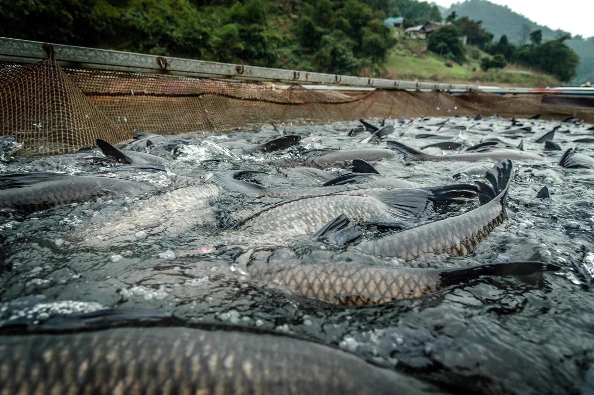 Video: Hướng dẫn kỹ thuật nuôi cá trắm đen trong lồng bè hiệu quả nhất - Ảnh 9.