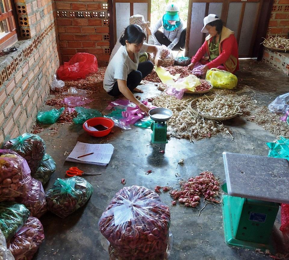"""Chung tay """"giải cứu"""" tỏi, hành giúp nông dân Khánh Hòa - Ảnh 2."""