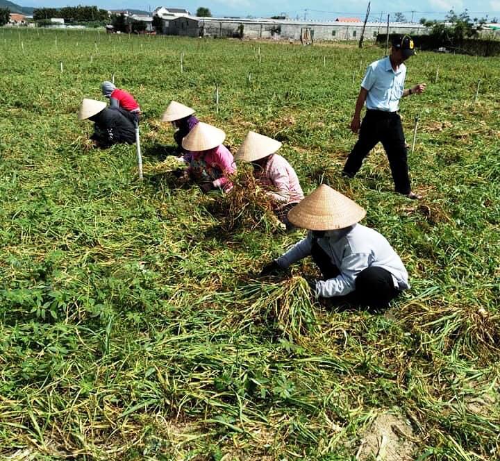 """Chung tay """"giải cứu"""" tỏi, hành giúp nông dân Khánh Hòa - Ảnh 4."""
