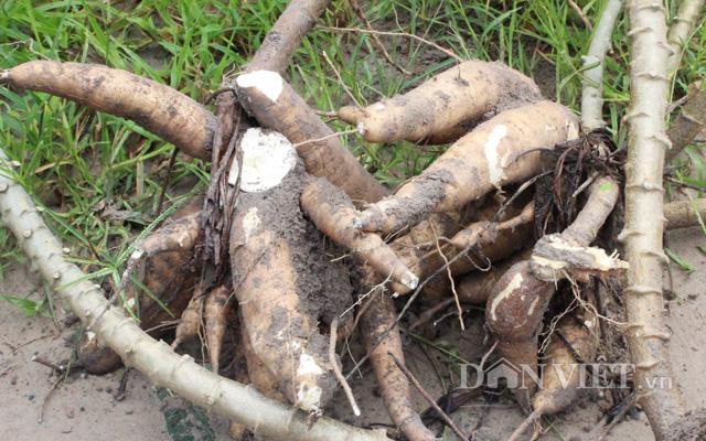 Khoai mì Tây Ninh có hàm lượng tinh bột cao